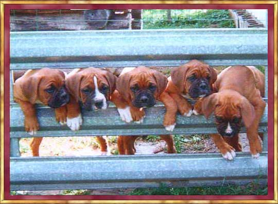 Picture of Mollies Follies Puppies